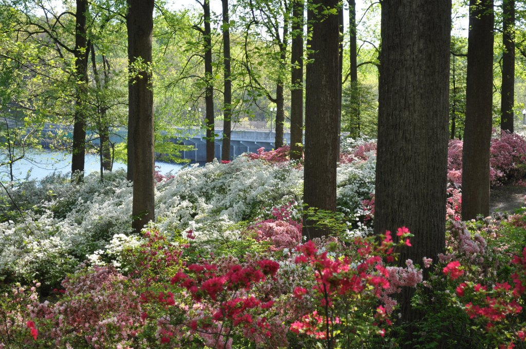 Update on Brighton Dam Azalea Gardens