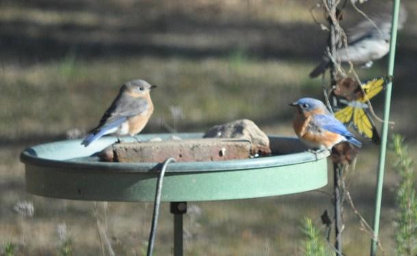 bluebirds 004