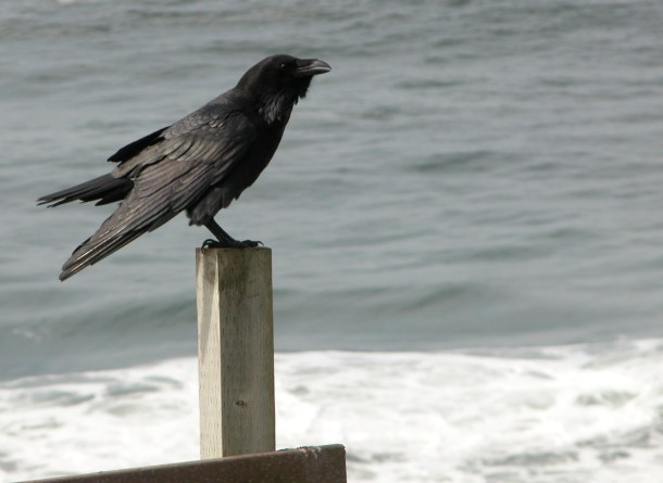 other raven