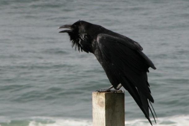 raven california