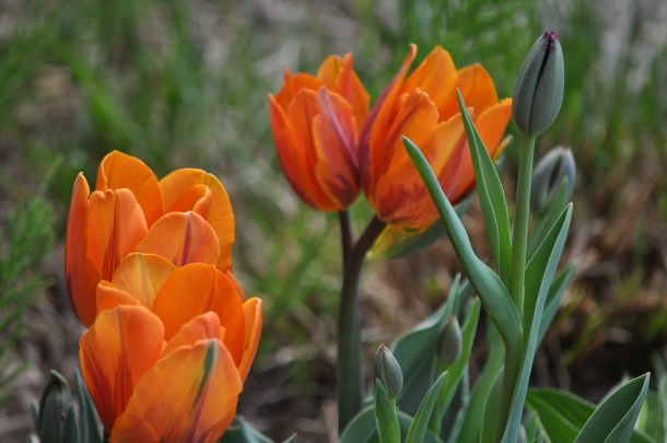 2009 April tulips
