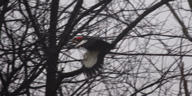 pileated woodpecker 015