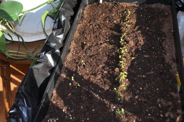 seedlings 023