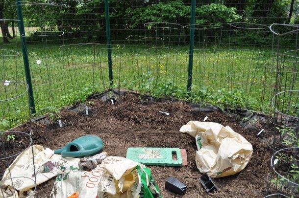tomato garden planting 011