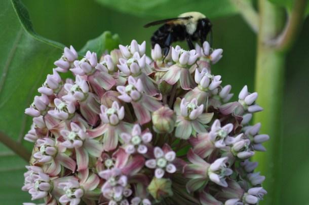 milkweed and herbs 014