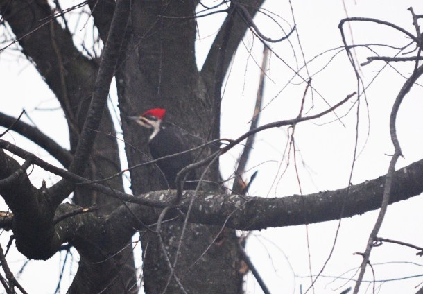 pileated woodpecker 012