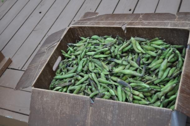 csa farm visit and fava beans 025