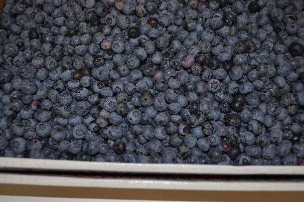 larriland blueberries and my garden 039