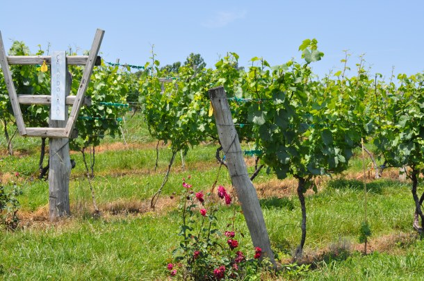 linden vineyards 017