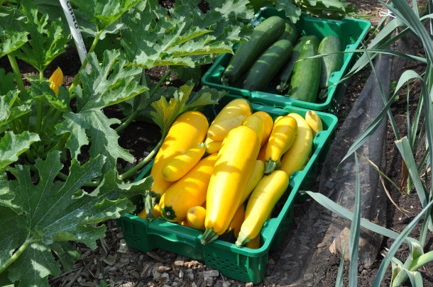 food bank and zucchini 004