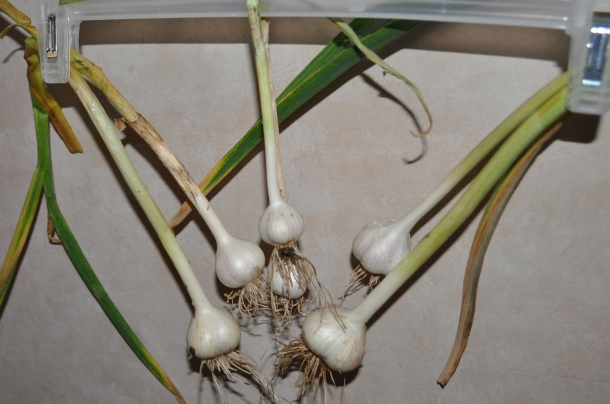 harvesting garlic 003