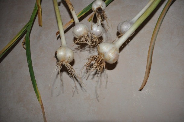 harvesting garlic 008