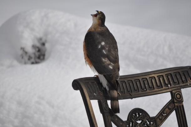 Hawk January 2011 058