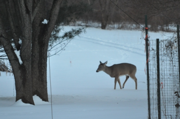 snow. deer and cooking 028