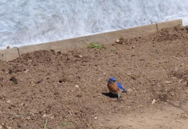 garden blue birds 007