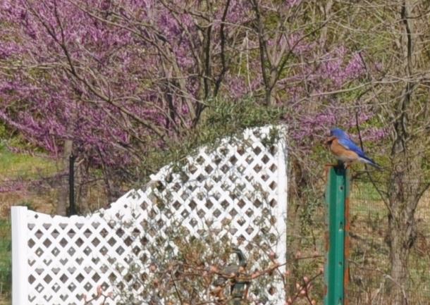 garden blue birds 011
