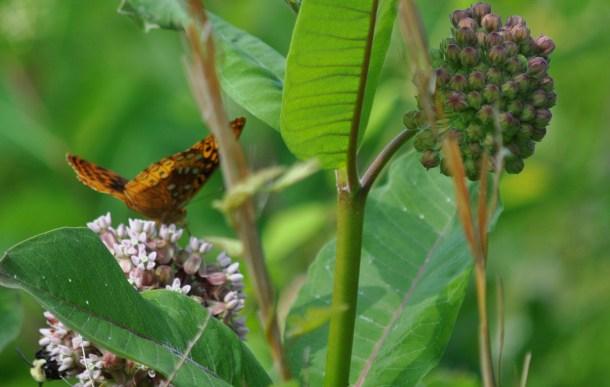 milkweed and herbs 004